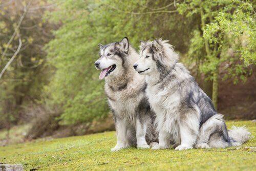 Hannhund eller tispe: Hvordan velge