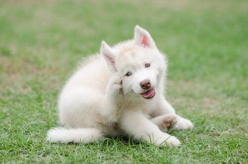 Liten hundevalp klør seg selv mens den sitter på gresset.