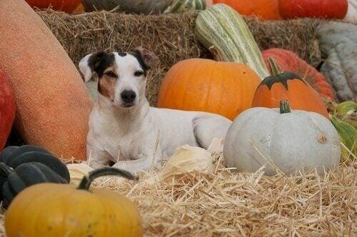 En av fordelene til gresskar i hundene sitt kosthold er at det kan regulere tarmfloraen.