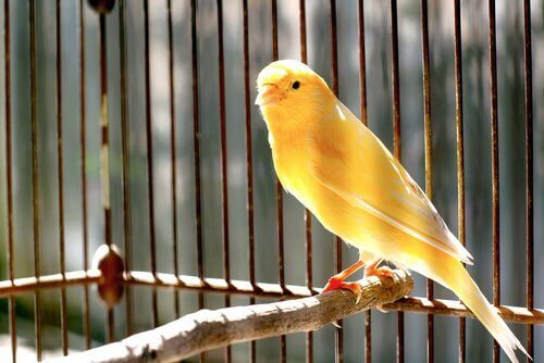 Kanarifugl i bur
