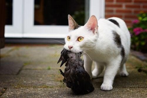 En hvit og svart katt har fanget en fugl.