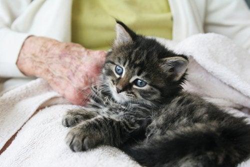 Liten stripete kattunge med blå øyne på fanget til en eldre person.