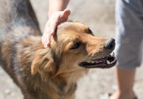 En voksen hund blir klappet på hodet av en mann.
