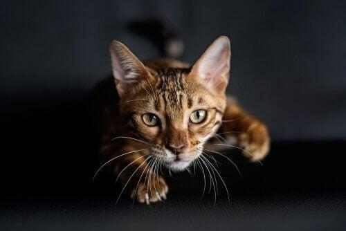Forklaringen på hvordan katter lærer å jakte