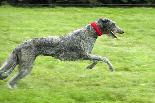 En skotsk hjortehund løper på en gressplen.