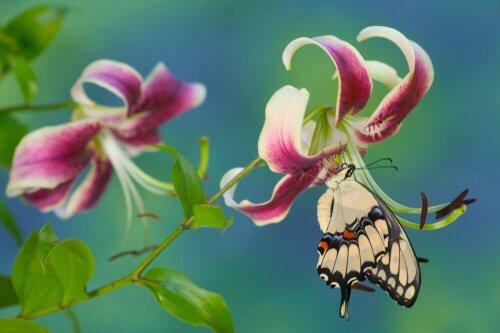 Sommerfugl drikker nektar av en blomst.