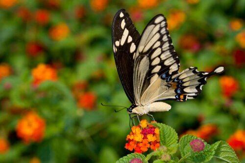 Sommerfuglen svalestjert: den største og mest eksotiske