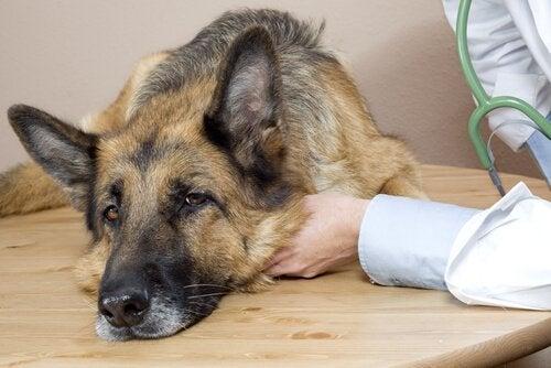 Hvordan oppdage de første tegnene på sykdom hos hunder