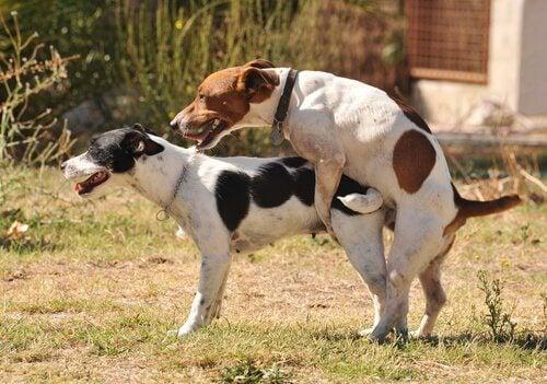 To hunder har sex utendørs.