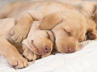 To små hundevalper sover sammen.