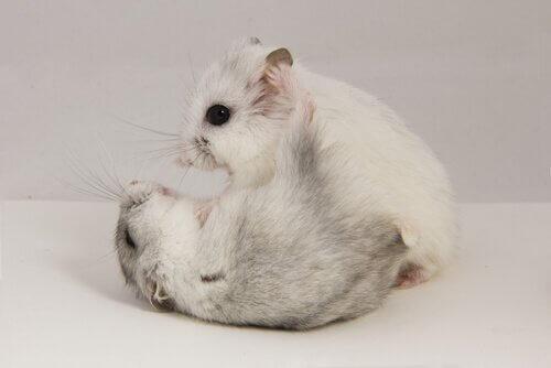 Hamster vil kunne bli aggressive eller krangle seg imellom.