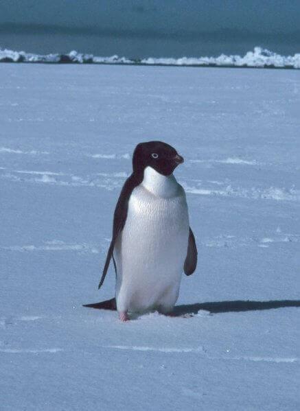 Liten pingvin som går på snøen