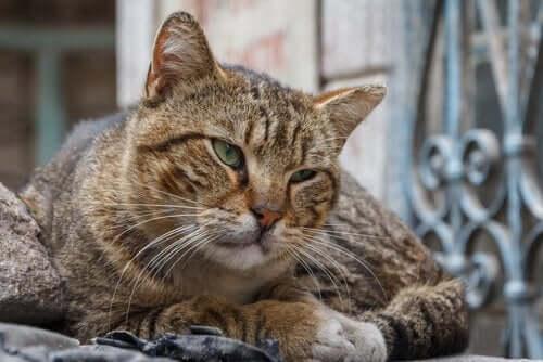 Senior katt med senil demens.