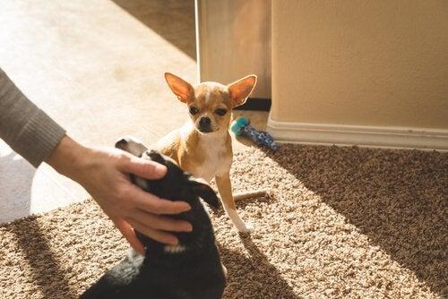 Blir hunder sjalu på andre dyr eller ting?