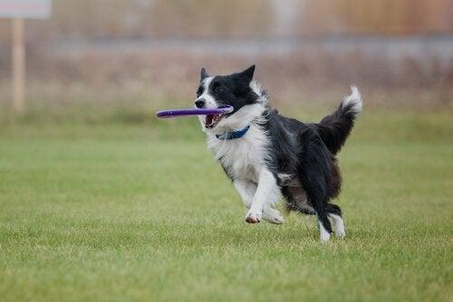 border collie løper med en frisbee i munnen