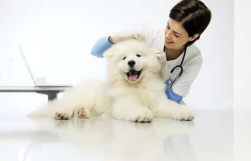 En hund besøker veterinæren.