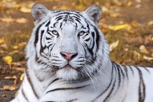 Den hvite tigeren i feng shui.