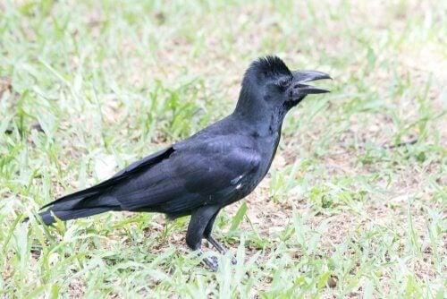 En tykknebbkråke, en av flere ulike kråkearter
