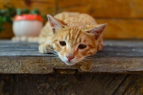 giardia symptomer katt)