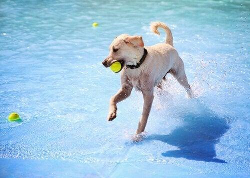 Hund løper i vannet med ball i munnen