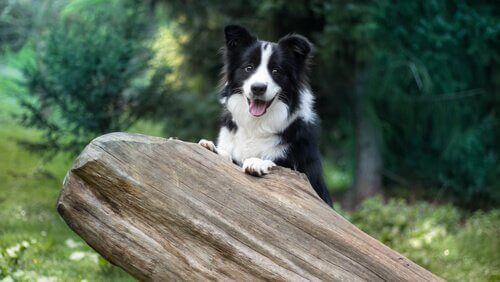 Slik trener du en border collie, en intelligent hundrase