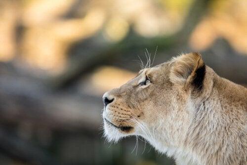 En reddet løveinne.