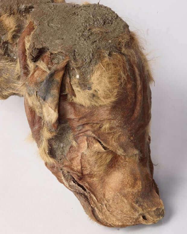 Hodet til den mumifiserte ulvungen
