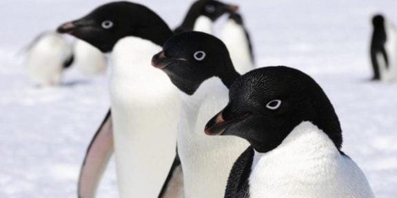 Tre adeliepingviner