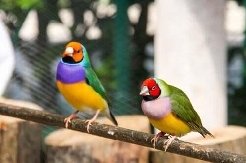 Pleie og omsorg for gouldamadin-fuglen