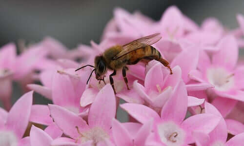 Bie pollinerer en blomst