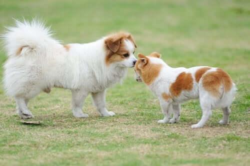 Alt du trenger å vite om hundehilsener mellom hunder