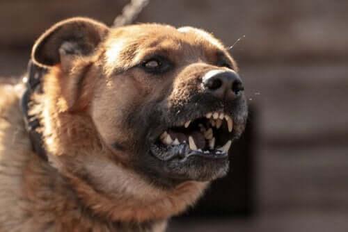 Hvorfor hunder angriper: Alt du trenger å vite