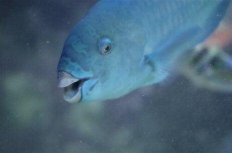 En blå papegøyefisk