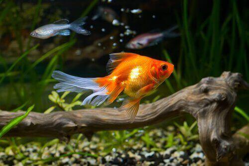 Å ta vare på en gullfisk og potensielle sykdommer