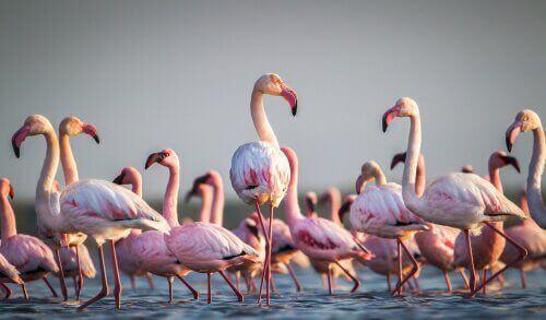 Noen morsomme og rare fakta om flamingoer
