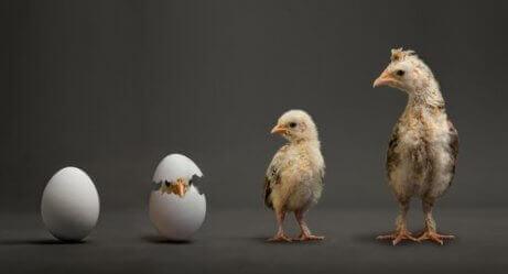 klekkingsprosessen til en kylling