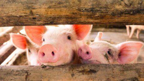 Noen griser ser ut gjennom noen lameller