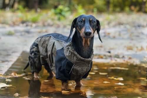 En dachshund i en regnfrakk
