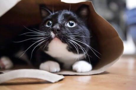 En svart og hvit katt gjemmer seg