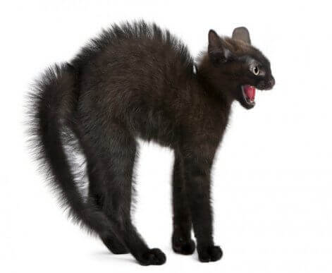 En katt som skyter rygg i frykt