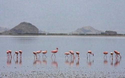 Fakta om flamingoer: Nebbet deres er et av de merkeligste blant alle typer fugler.