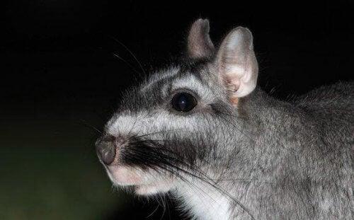 Møt pampasviscacha - Den eneste arten i sin slekt
