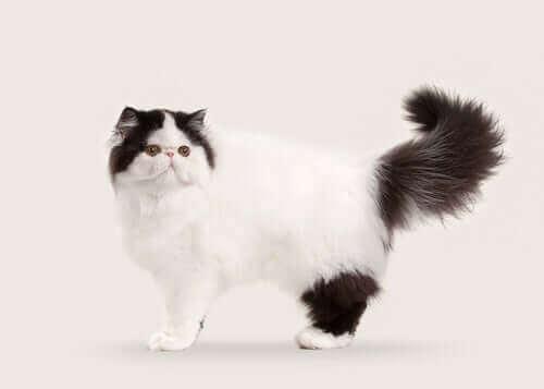 10 semi-langhårede og langhårede katteraser