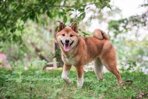 Den japanske hunderasen shiba: Omsorg og fôring