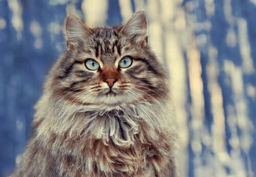 Den sibirske skogkatten er blant de største langhårede kattraser