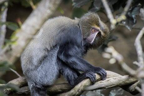 Hamlyns ape