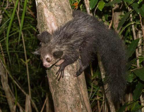 Møt fingerdyret: Den største nattaktive primaten