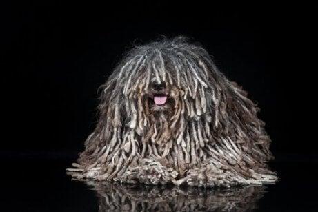 En hund som ser ut som en mopp