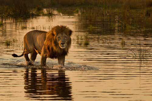 Løvene som jakter i havet