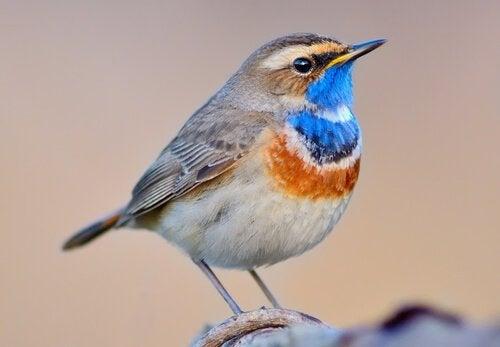 Alt om den vidunderlige fuglen blåstrupe